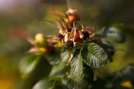 close up of dog rose photo