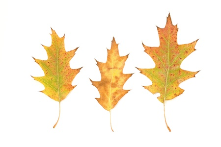 three oak leaves isolated on white background  photo
