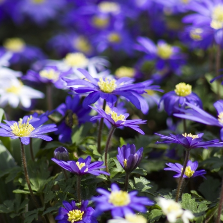 purple japanese anemone flowers photo