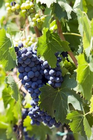 tuscan grapes photo