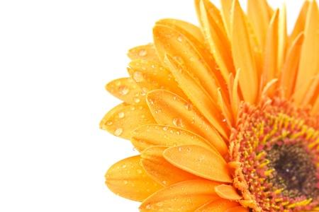 orange gerbera daisy Stock Photo - 16310791