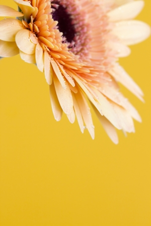 orange gerbera daisy photo