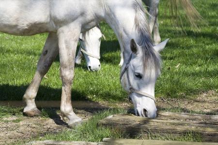 dapple grey: dapple-grey horse