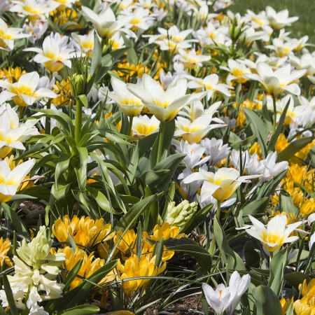 Beautiful flowers in Keukenhof Garden photo