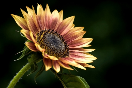 Sunflower isolated on a black background photo