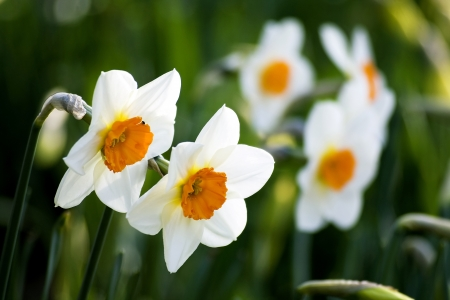 narcissus - spring in the park photo