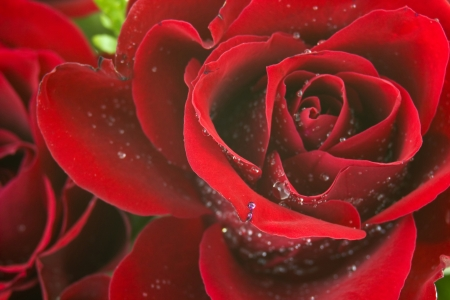 red rose Stock Photo - 16664853