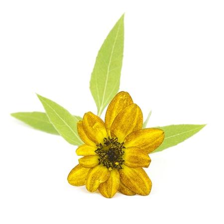 helianthus: sunflower on white background (Helianthus)