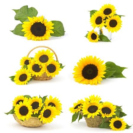 helianthus: Beautiful sunflowers (Helianthus) - collage Stock Photo
