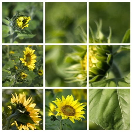 helianthus: sunflowers (Helianthus) - collage