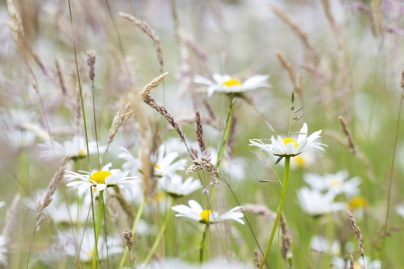 daisies in the meadow photo