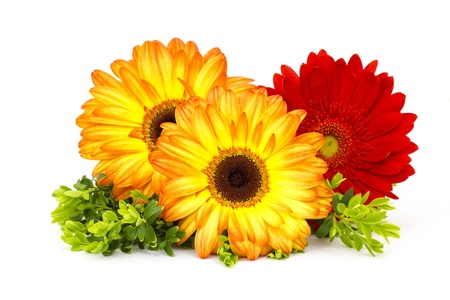 gerbera daisies on white background photo
