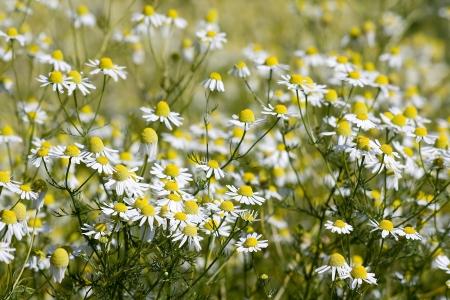 camomile field Stock Photo - 17562214