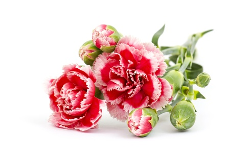 Carnations on white background  Stock Photo