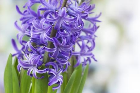 hyacinthus: floraci�n flores jacinto (hyacinthus)