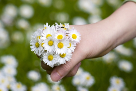 daisies - a gift for the mother photo