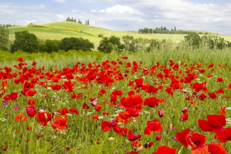 italian landscape: spring in Tuscany, landscape with poppies