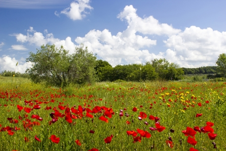 spring in Tuscany, landscape with poppies photo