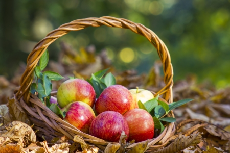 fresh apples in a basket in autumn garden photo