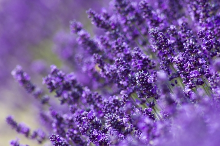 aromatherapy oils: lavender flowers Stock Photo