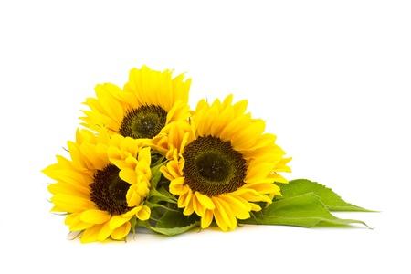 sunflower on white background (Helianthus) Stok Fotoğraf - 21659337