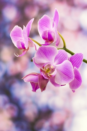 Beautiful pink orchid  - phalaenopsis photo