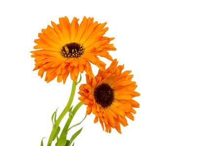 calendula flowers on white background Standard-Bild