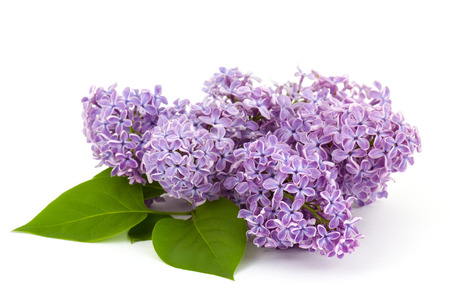 lilac: Blooming lilac flowers