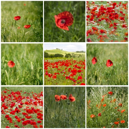 red poppies in Tuscany - collage photo