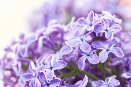 Blooming lilac flowers. Abstract background. Macro photo. photo