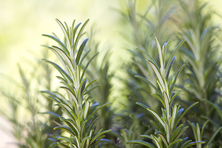 fresh rosemary in the garden (rosmarinus officinalis) photo