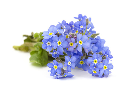 not forget: forget me not flowers Stock Photo