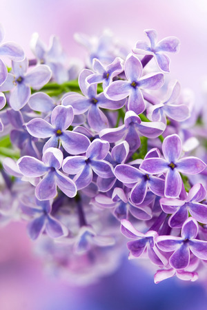 Blooming lilac flowers photo