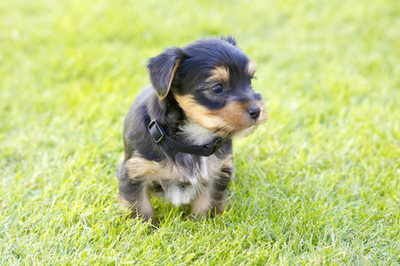 silky terrier: yorkshire silky terrier Stock Photo