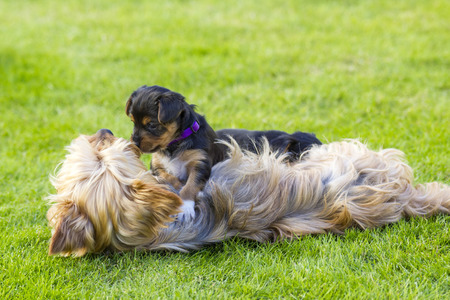 Mother and its lovely child. The yorkshire terriers photo