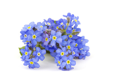 forget me not flowers Standard-Bild