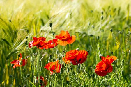 wild poppy flowers photo