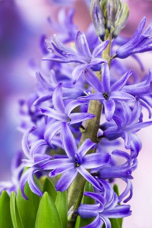 hyacinthus: flores jacinto de floraci�n (hyacinthus) Foto de archivo
