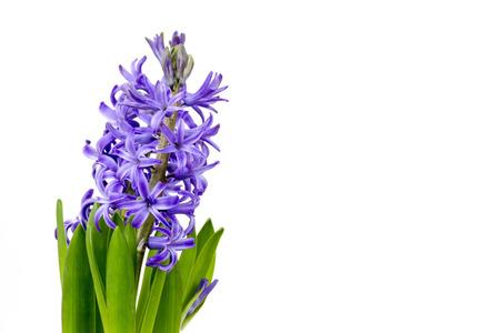 hyacinthus: blooming hyacinth flowers (hyacinthus)