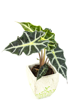 polly: Alocasia. Isolated flower in pot.