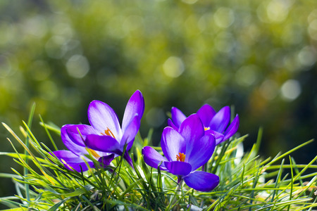 crocus - one of the first spring flowers photo