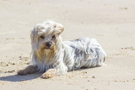 windy: yorkshire terrier on the beach in windy day Stock Photo
