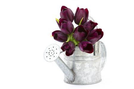 wateringcan: purple tulips in watering-can