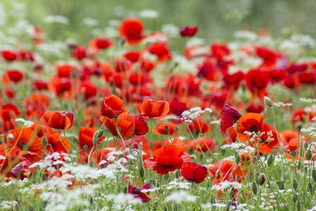 val dorcia: red poppies, Tuscany, Italy