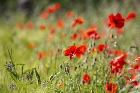 soft focus: flores de amapola silvestre, enfoque suave