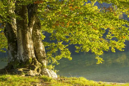 bohinj: Old tree by the Bohinj lake, Slovenia