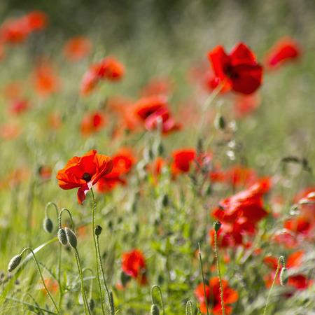 soft   focus: wild poppy flowers, soft focus Stock Photo
