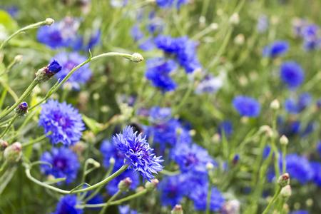 centaurea: cornflowers Stock Photo