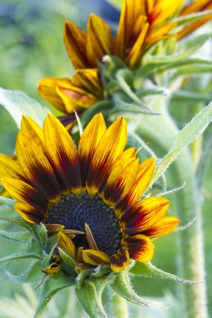 helianthus: sunflowers in the garden (Helianthus)