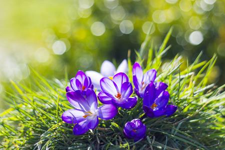 flores moradas: Azafrán - una de las primeras flores de la primavera